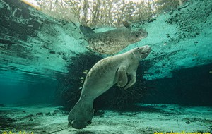 The Manatees of Crystal River – An Opinion
