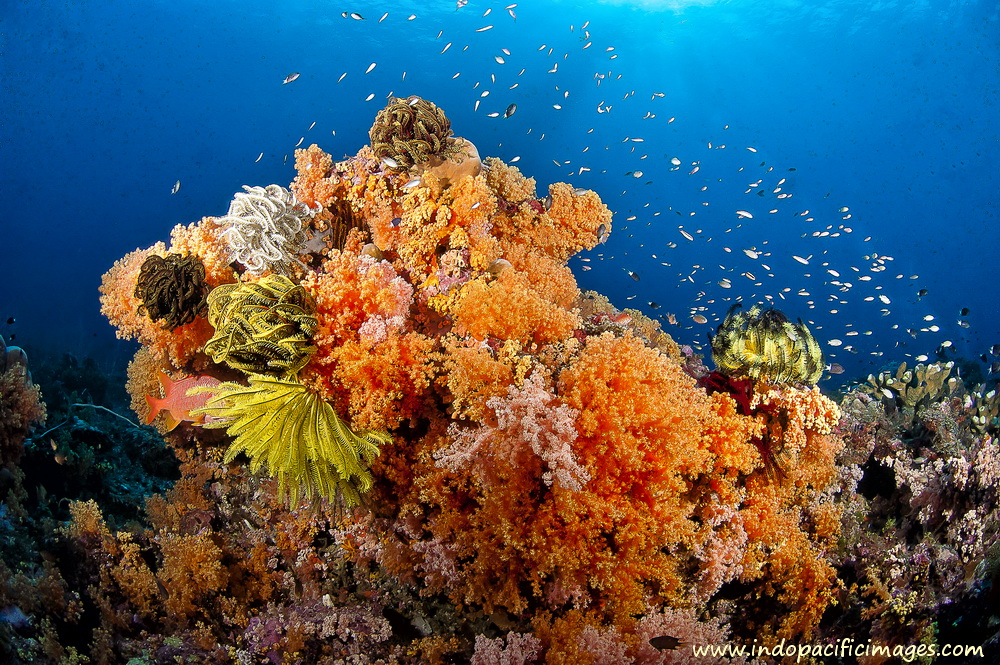 Scuba Diving in Papua New Guinea - Superb Bommie on the South Coast of New Britain