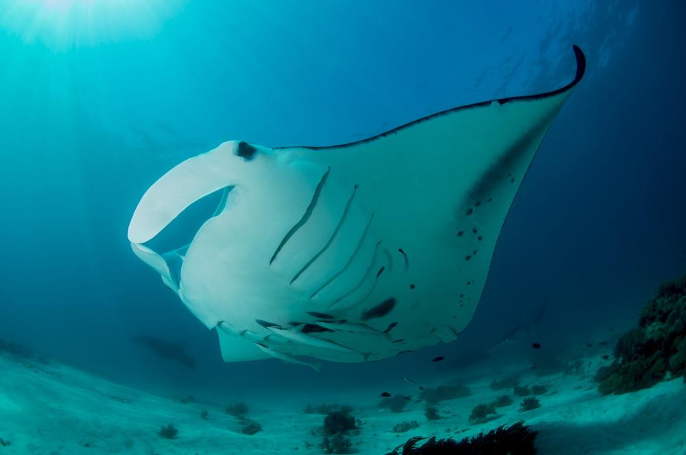 Milne Bay Manta Rays