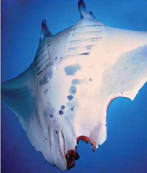 Manta ray in Tofo showing it's shark bites