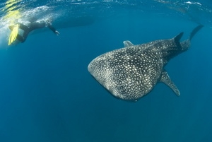 Banking is how whale sharks avoid potential hazards