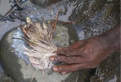 Kimbe Bay Conservation - Derris Root