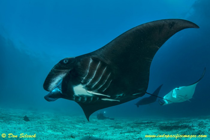 Manta Rays at Manta Mantra in the Dampier Strait