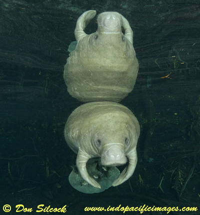 The Manatees of Crystal River - Quite Special!