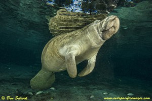 The Complete Guide to the Crystal River Manatees - A Florida Manatee at the Three Sisters Springs in Crystal River