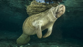 Manatees – The Original Mermaids?
