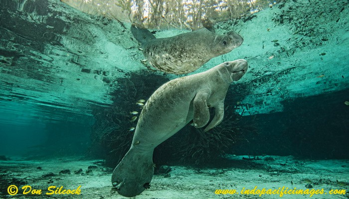 Manatee in the Three Sisters Spring in Crystal River