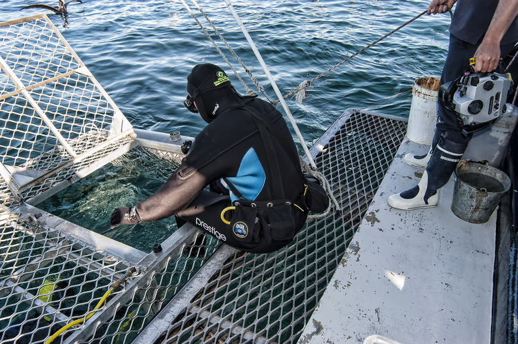 Diver, with weight harness, entering the cage