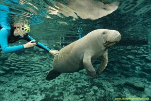 The Complete Guide to the Crystal River Manatees - of Crystal River Manatee Tourism - Florida Manatee in Jurassic Park