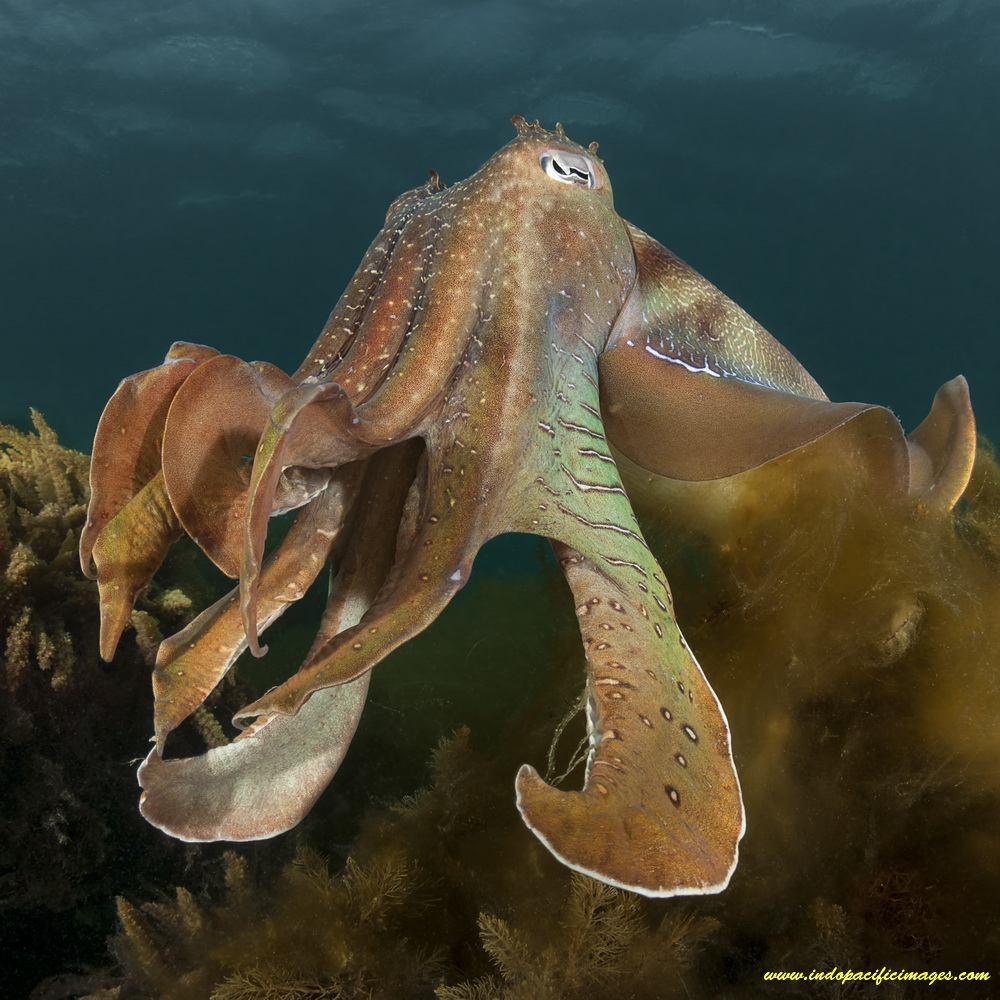 "Whyalla's Giant Australian Cuttlefish aggregation - A large Bull Male Australian Cuttlefish ""displaying"""