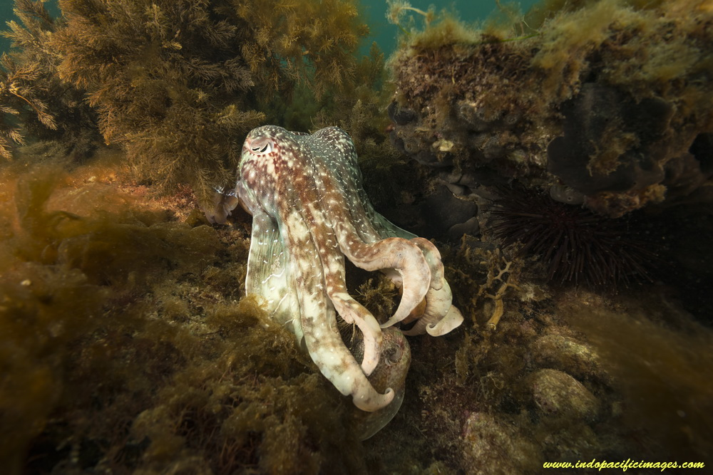 Whyalla's Giant Australian Cuttlefish aggregation - A Bull Male Cuttlefish hides his captive female from sight...