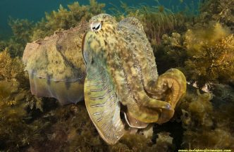 The Complete Guide to the Giant Australian Cuttlefish