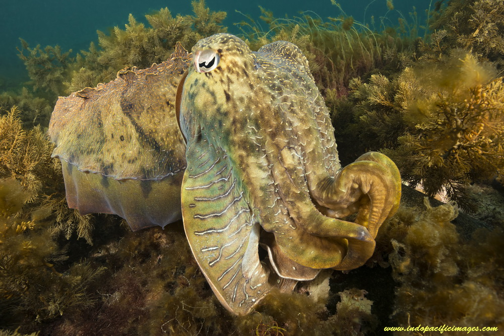 A Giant Australian Cuttlefish demonstrating its camouflage...