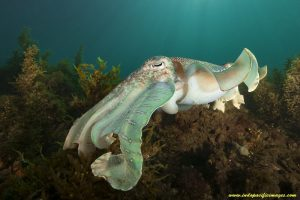 The Complete Guide to the Giant Australian Cuttlefish - Quite Unique