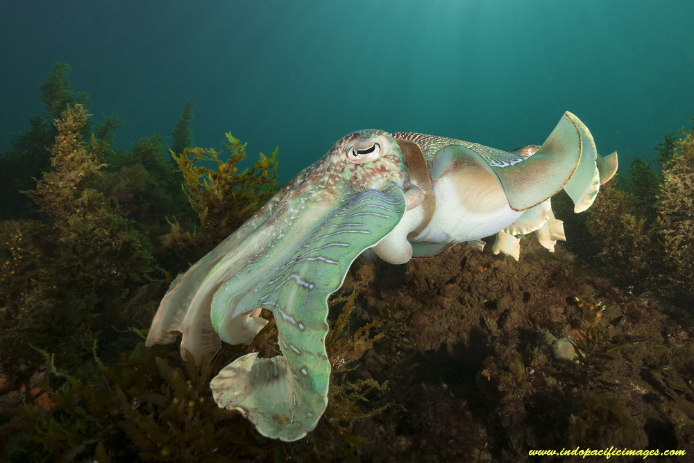 The Giant Australian Cuttlefish - Quite Unique