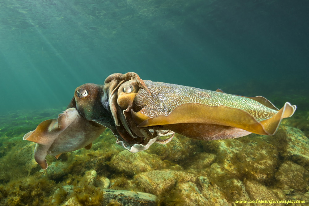Mating Giant Australian Cuttlefish