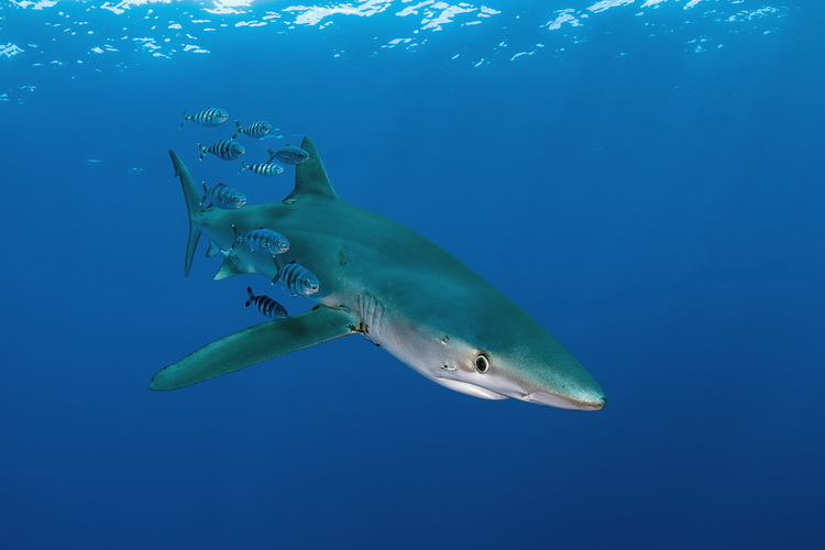 Nikon D500 Underwater - Blue Shark