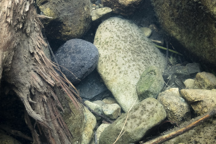 Japanese Giant Salamander - starting to re-emerge from the river bed
