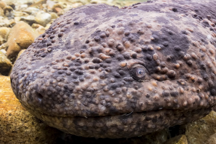 Photographing the Japanese Giant Salamander - eye close up
